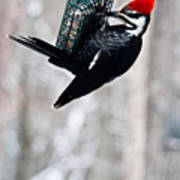 Pileated Billed Woodpecker Pecking 6 Poster