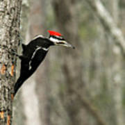 Pileated Woodpecker Looking For A Perspective Mate Poster