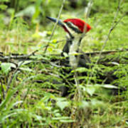 Pileated Woodpecker On The Ground No. 1 Poster