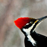 Pileated Woodpecker Up Close Poster