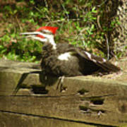 Pileated Woodpecker1 Poster