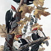 Pileated Woodpeckers Poster