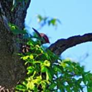 Pileated Woody Wood Pecker Poster