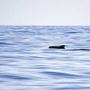 Pilot Whales 2 Poster