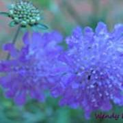 Pin Cushion Flower Poster