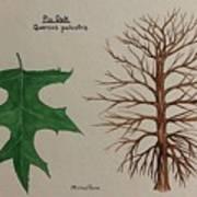 Pin Oak Tree Id Poster