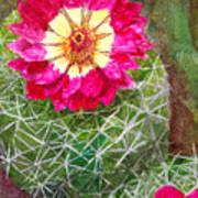 Pincushion Cactus Poster