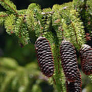 Pine Cones On The Bough Poster