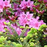 Pine Conifer Pink Azaleas 30 Summer Azalea Flowers Giclee Art Prints Baslee Troutman Poster
