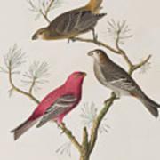 Pine Grosbeak Poster