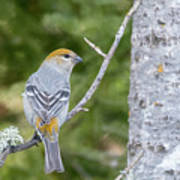 Pine Grosbeak Poster