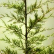 Pine Shower Poster