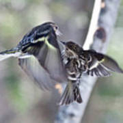 Pine Siskins Fighting 6829 Poster