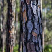 Pine Tree Bark Poster