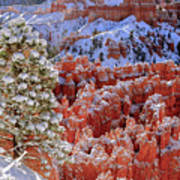 Pine Tree In Bryce Canyon Poster