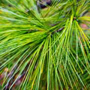 Pine Tree Needles Poster