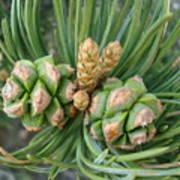 Pine Tree Seeds Poster