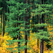 Pine Trees In Autumn Poster