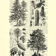 Pine Trees Study Black And White  Poster