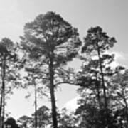 Pine Trees Poster