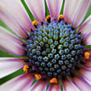 Pink African Daisy Detail Poster