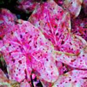 Pink Caladium Poster