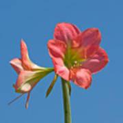 Pink Amaryllis Flowering In Spring Poster