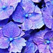 Pink And Blue Hydrangea 4 Poster