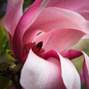 Pink And White Magnolia Poster