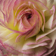Pink And White Ranunculus Poster