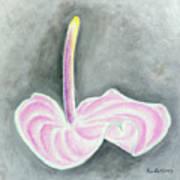 Pink Anthurium Poster