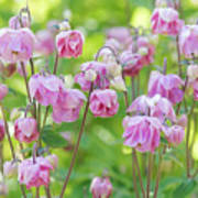 Pink Aquilegia Flowers Poster