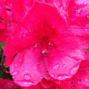 Pink Azalea After Spring Rain Poster