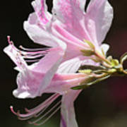 Pink Azalea Macro Poster