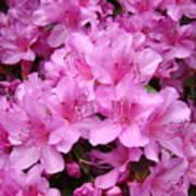 Pink Azaleas Summer Garden 6 Azalea Flowers Giclee Art Prints Baslee Troutman Poster