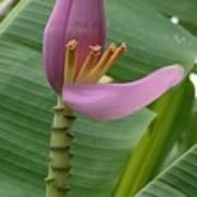 Pink Banana Flower Poster