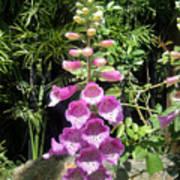 Pink Bell Flowers. Foxglove 03 Poster