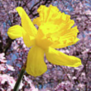Pink Blossom Spring Trees Yellow Daffodil Flower Baslee Troutman Poster