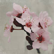 Pink Blossoms 1- Art By Linda Woods Poster