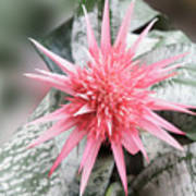 Pink Bromeliad Poster