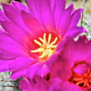 Pink Cacti Flowers Poster