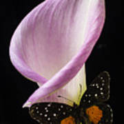 Pink Calla Lily With Butterfly Poster