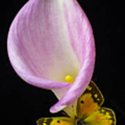 Pink Calla Lily With Yellow Butterfly Poster