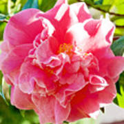 Pink Camellia At Pilgrim Place In Claremont-california  Poster