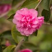Pink Camellia 2 Poster