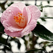 Pink Camellia With Raindrops Poster by Eva Thomas