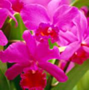 Pink Cattleya Orchids Poster by Allan Seiden - Printscapes