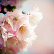 Pink Cherry Blossoms Closeup Poster