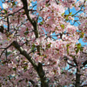 Pink Cherry Blossoms Poster