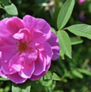 Pink Chestnut Rose Poster